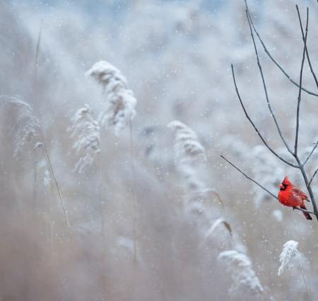 A bright red male Northern Cardinal sits perched on a branch in the falling snow.